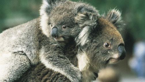 Koalas at Melbourne Zoo, Melbourne, Victoria, Australia