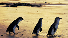 Penguins at Phillip Island Nature Park, Phillip Island, Victoria, Australia