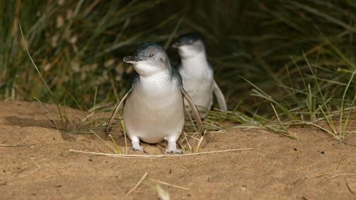 Phillip Island Nature Park, Victoria, Australia
