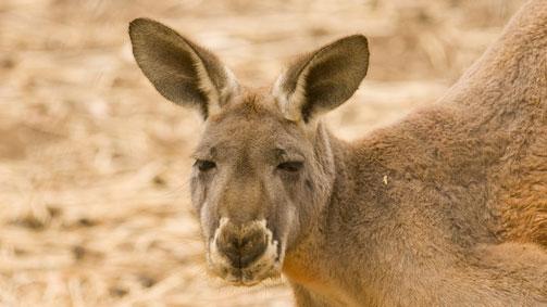 Kangaroo, Sonre farm, Swan Hill, The Murray, Victoria, Australia