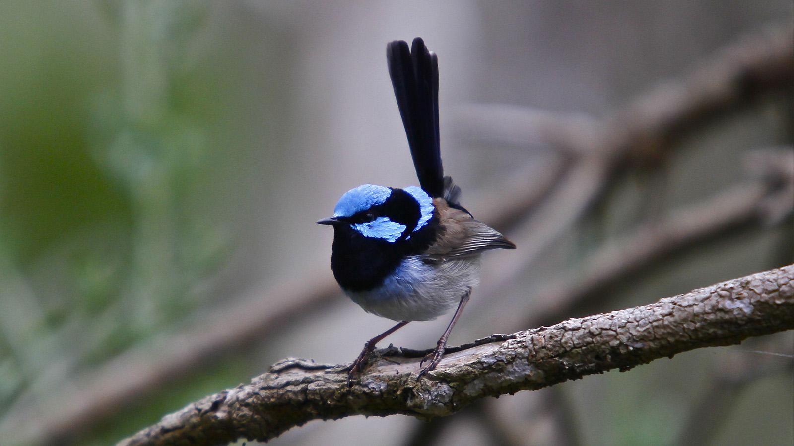 Birdlife, Phillip Island, Victoria, Australia