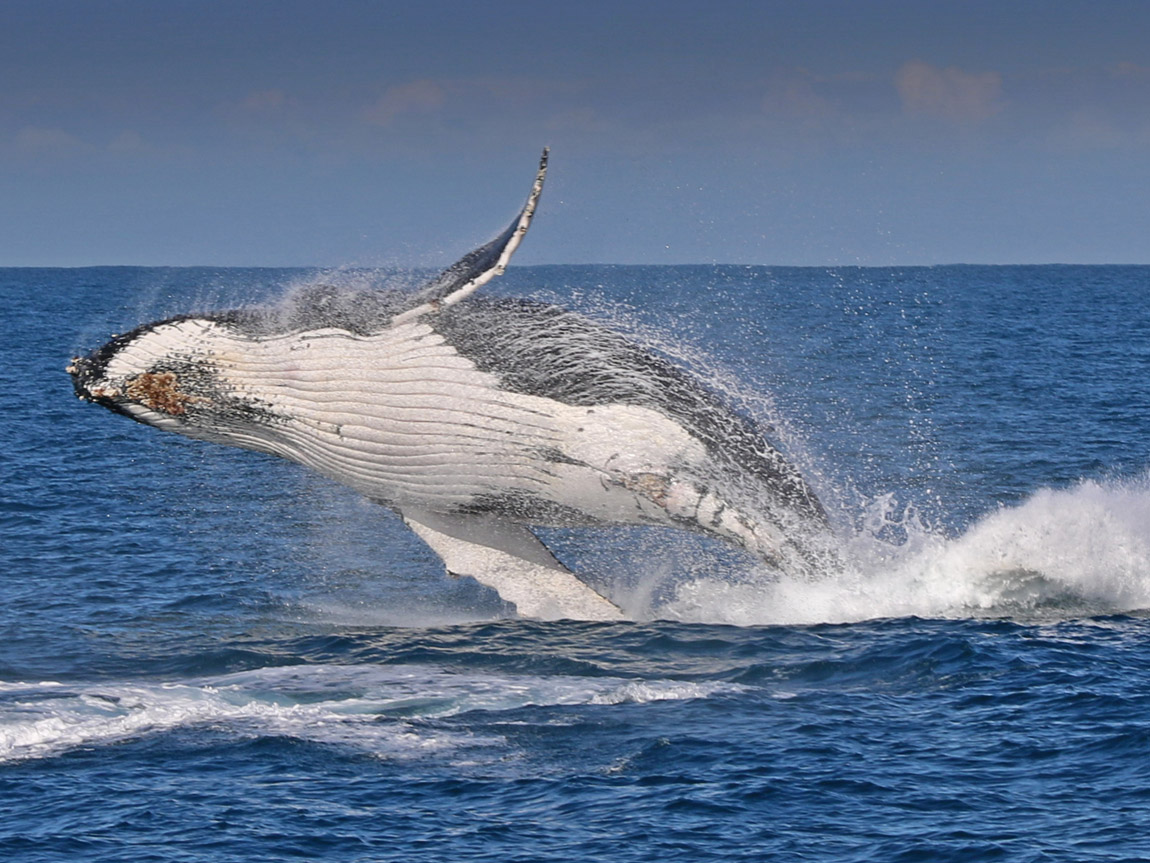Humpback whale, Phillip Island, Victoria, Australia