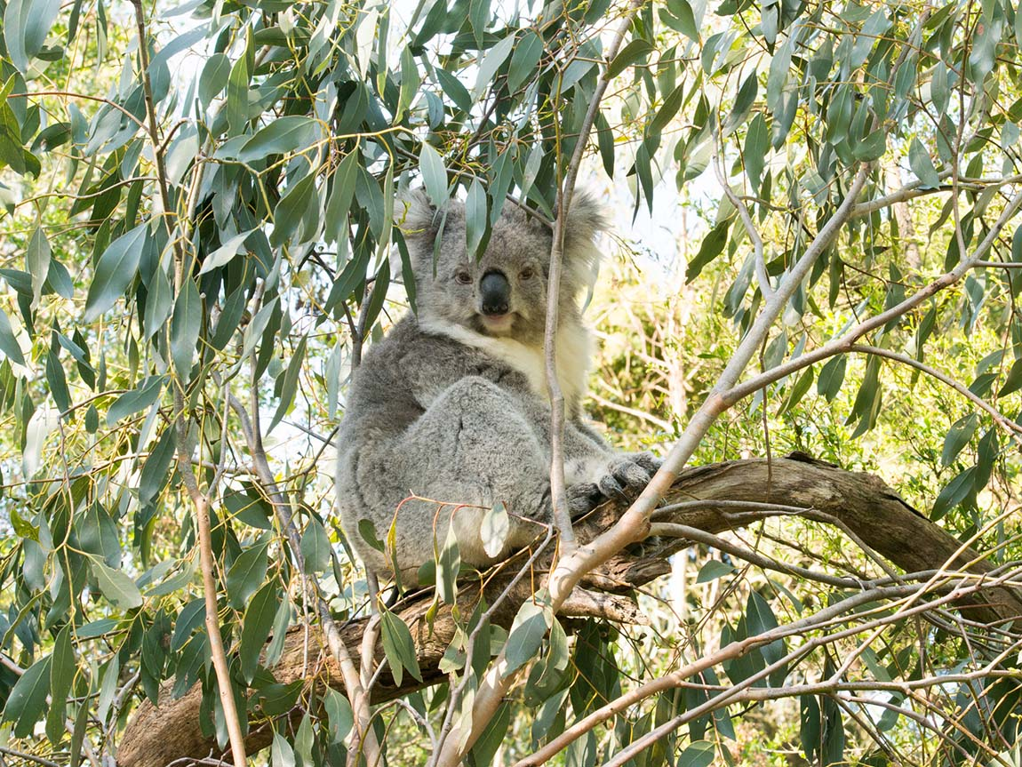 Koala Conservation Centre, Phillip Island, Victoria, Australia