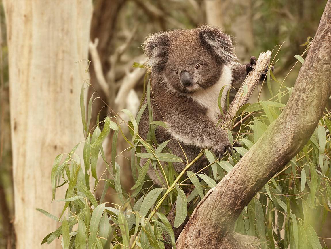 Koala, Phillip Island, Victoria, Australia