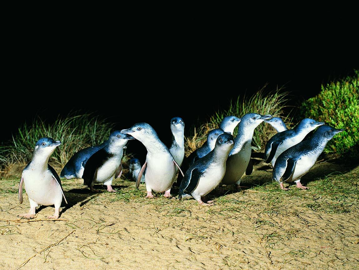 Penguin Parade, Phillip Island, Victoria, Australia