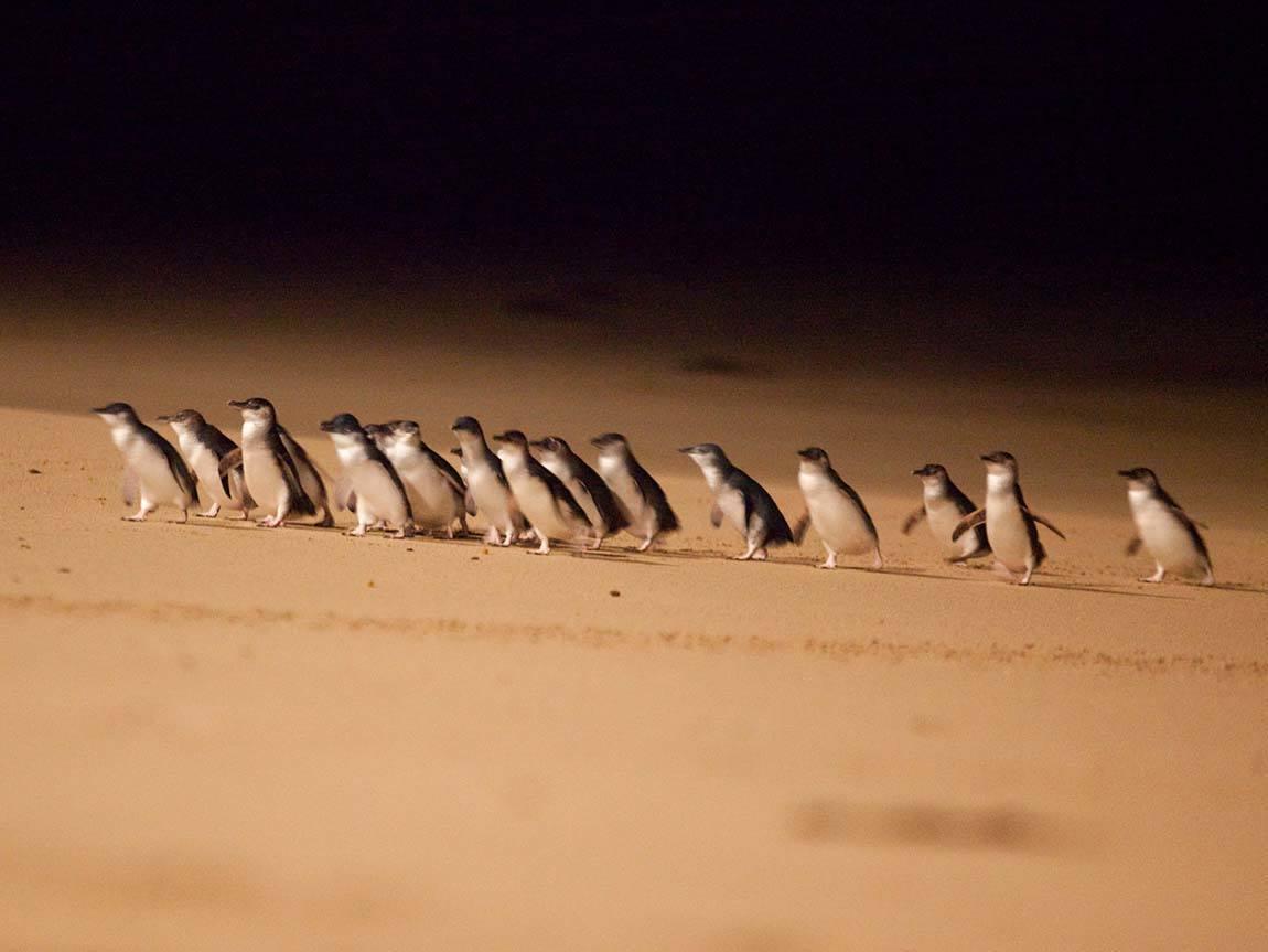 Penguin parade, Phillip Island Nature Park, Phillip Island, Victoria, Australia