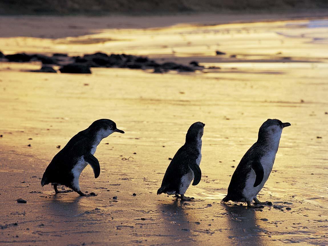 Penguin Parade at Phillip Island Nature Park, Phillip Island, Victoria, Australia
