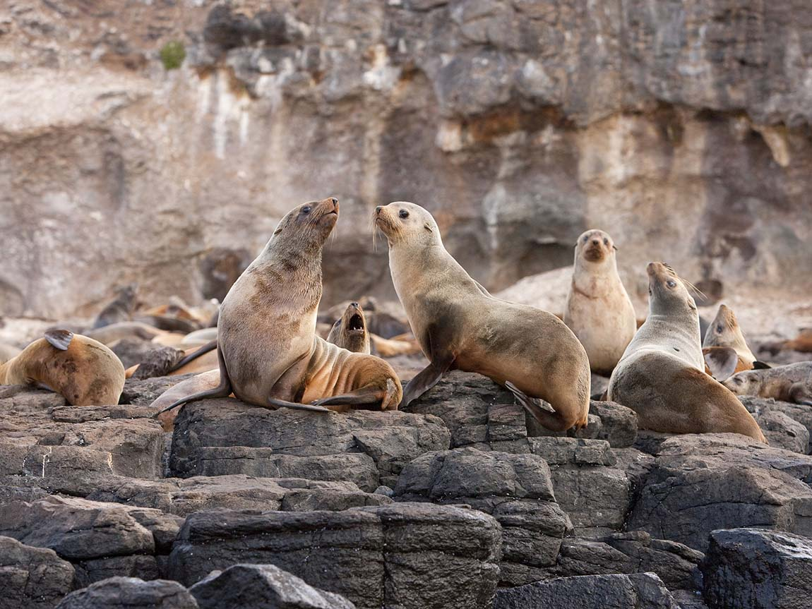 Seals at Seal Rock, Phillip Island, Victoria, Australia