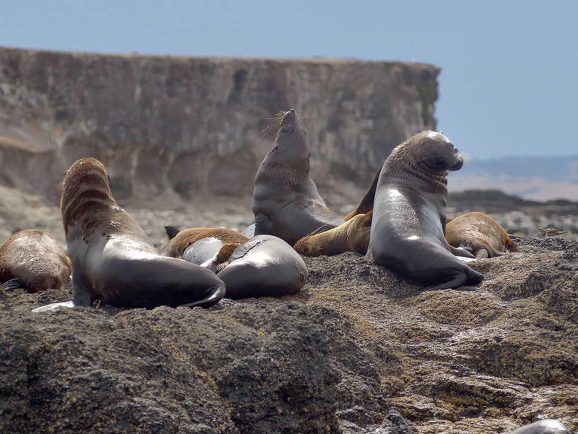 Seals on Seal Rocks, Phillip Island, Victoria, Australia