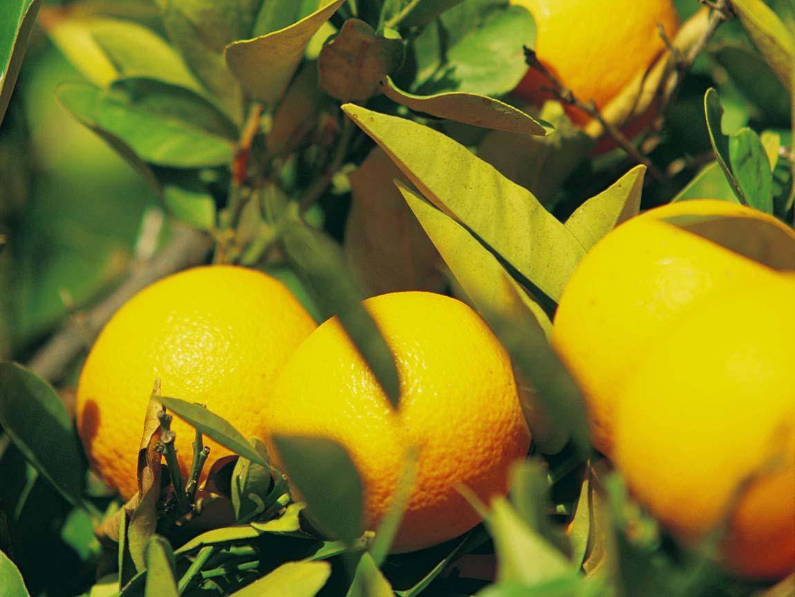 Oranges growing near Mildura, The Murray, Victoria, Australia