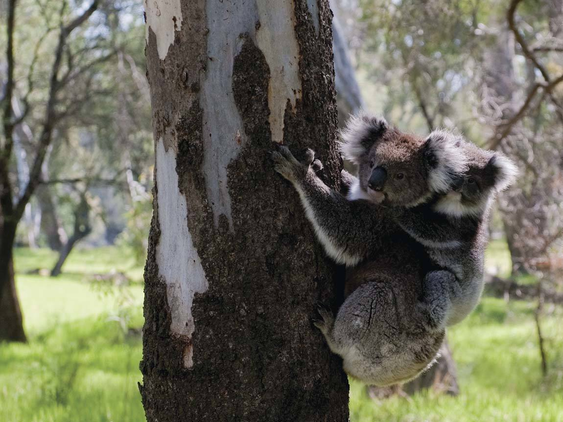 Koalas in Barmah National Park, The Murray, Victoria, Australia