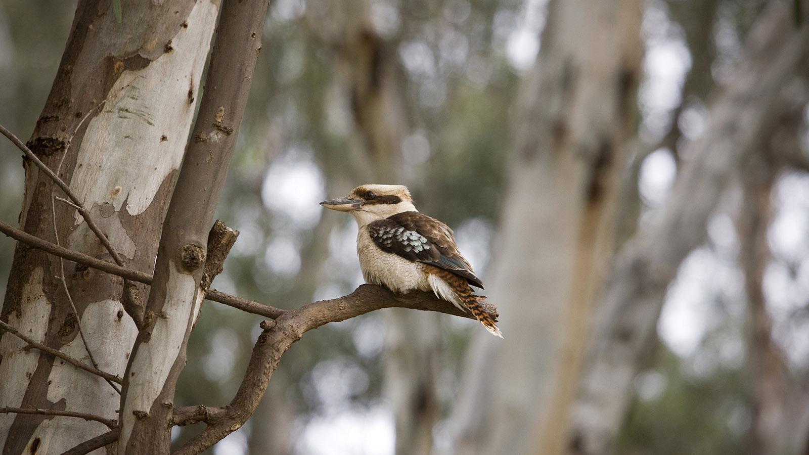 Kookaburra, The Murray, Victoria, Australia
