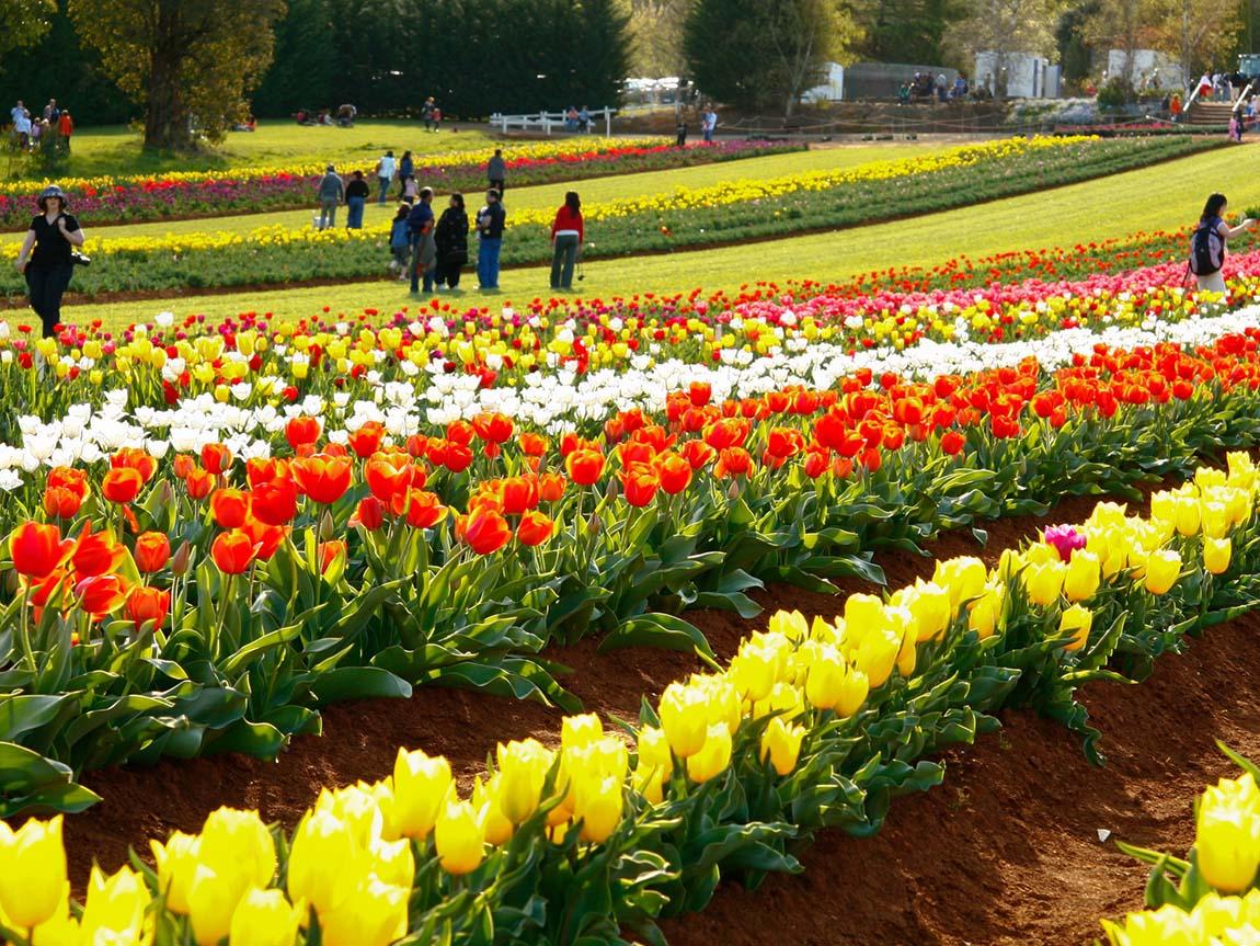 [Image: tesselaar-tulip-festival_yvdr_r_1356695_...540&crop=1]