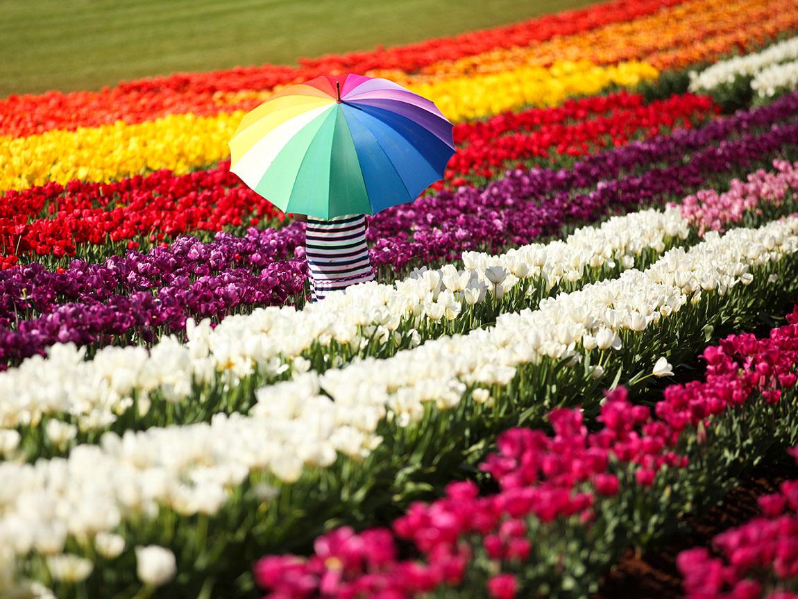 Tesselaar Tulip Festival, Yarra Valley & the Dandenong Ranges, Victoria, Australia