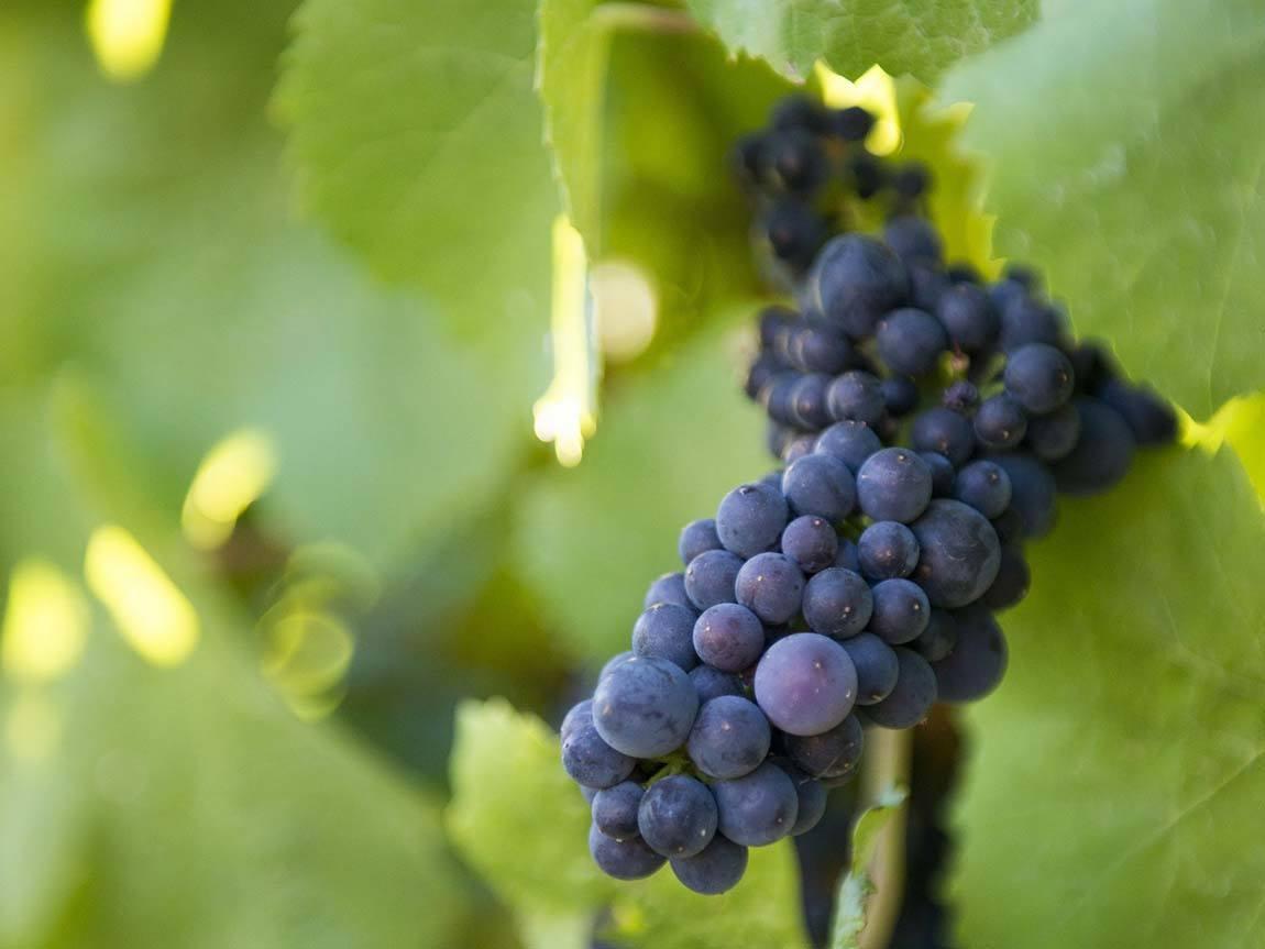 Grapes at Domaine Chandon, Yarra Valley and the Dandenong Ranges, Victoria, Australia. Photo: Tourism Australia