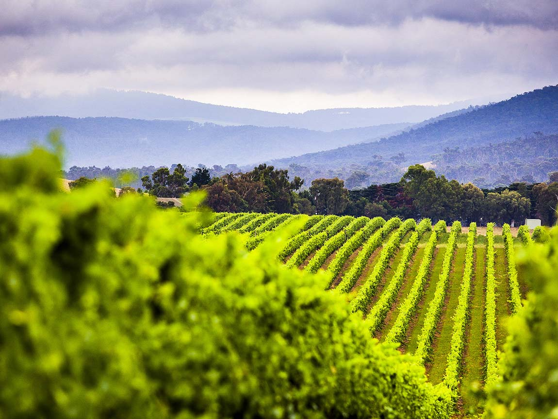 Yarra Valley vineyard, Yarra Valley and Dandenong Ranges, Victoria, Australia