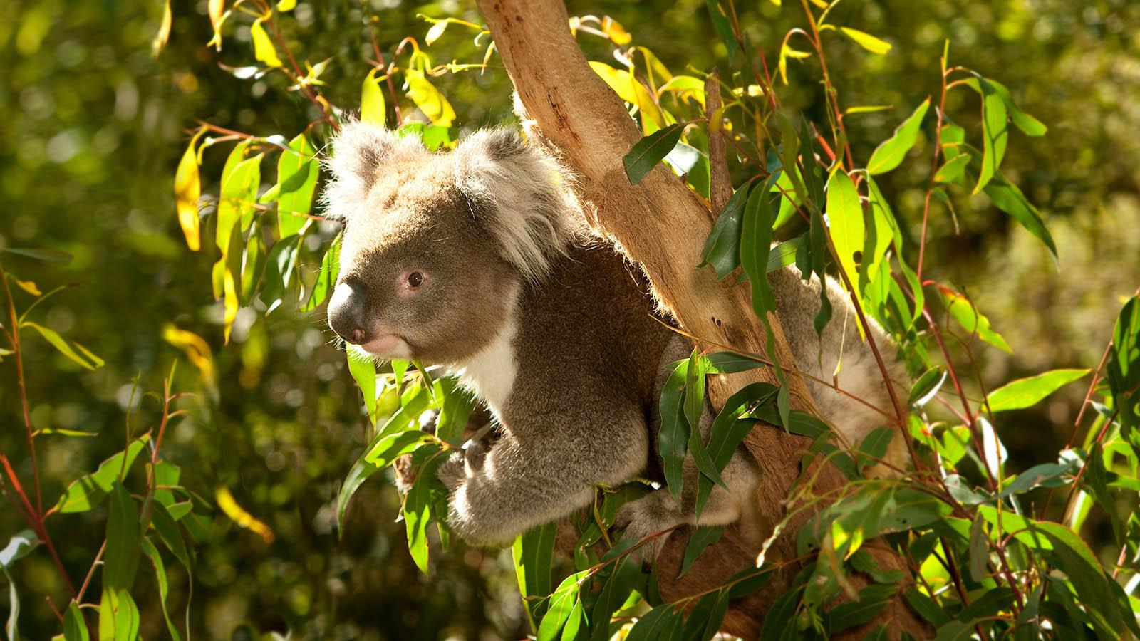Koala at Healesville Sanctuary, Yarra Valley & Dandenong Ranges, Victoria, Australia