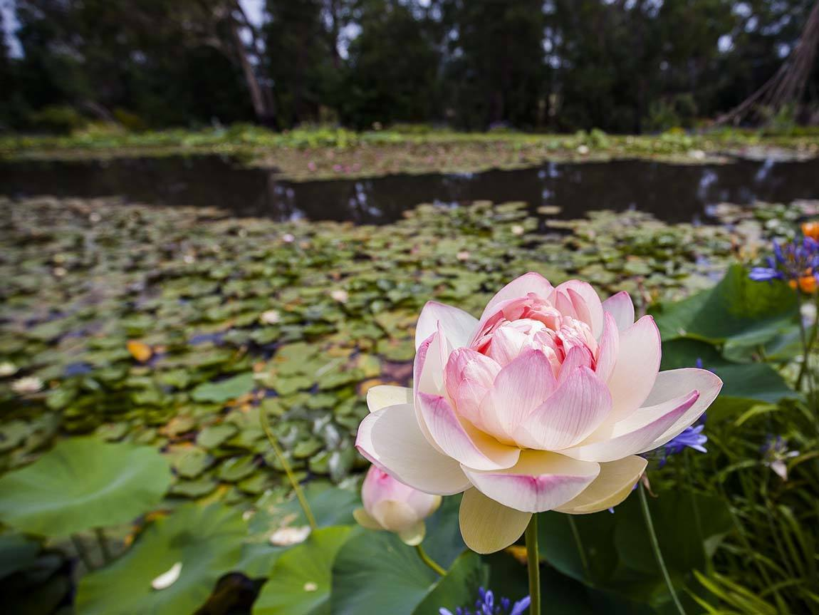 Blue Lotus Water Garden, Yarra Valley and Dandenong Ranges, Victoria, Australia